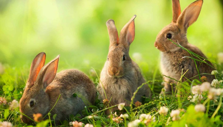 How to Get Rid of Rabbits in Your Garden Naturally?