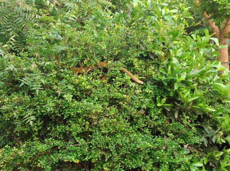 Snake in Bush
