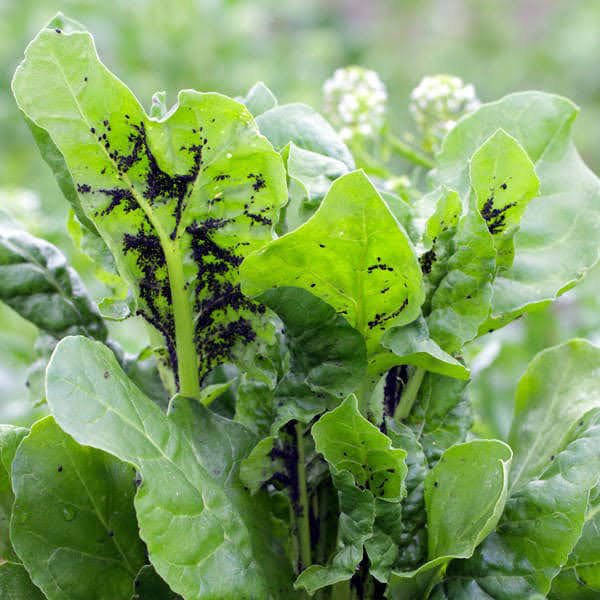 How to Get Rid of Aphids on Vegetable Plants